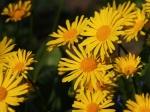 Garten_Blume